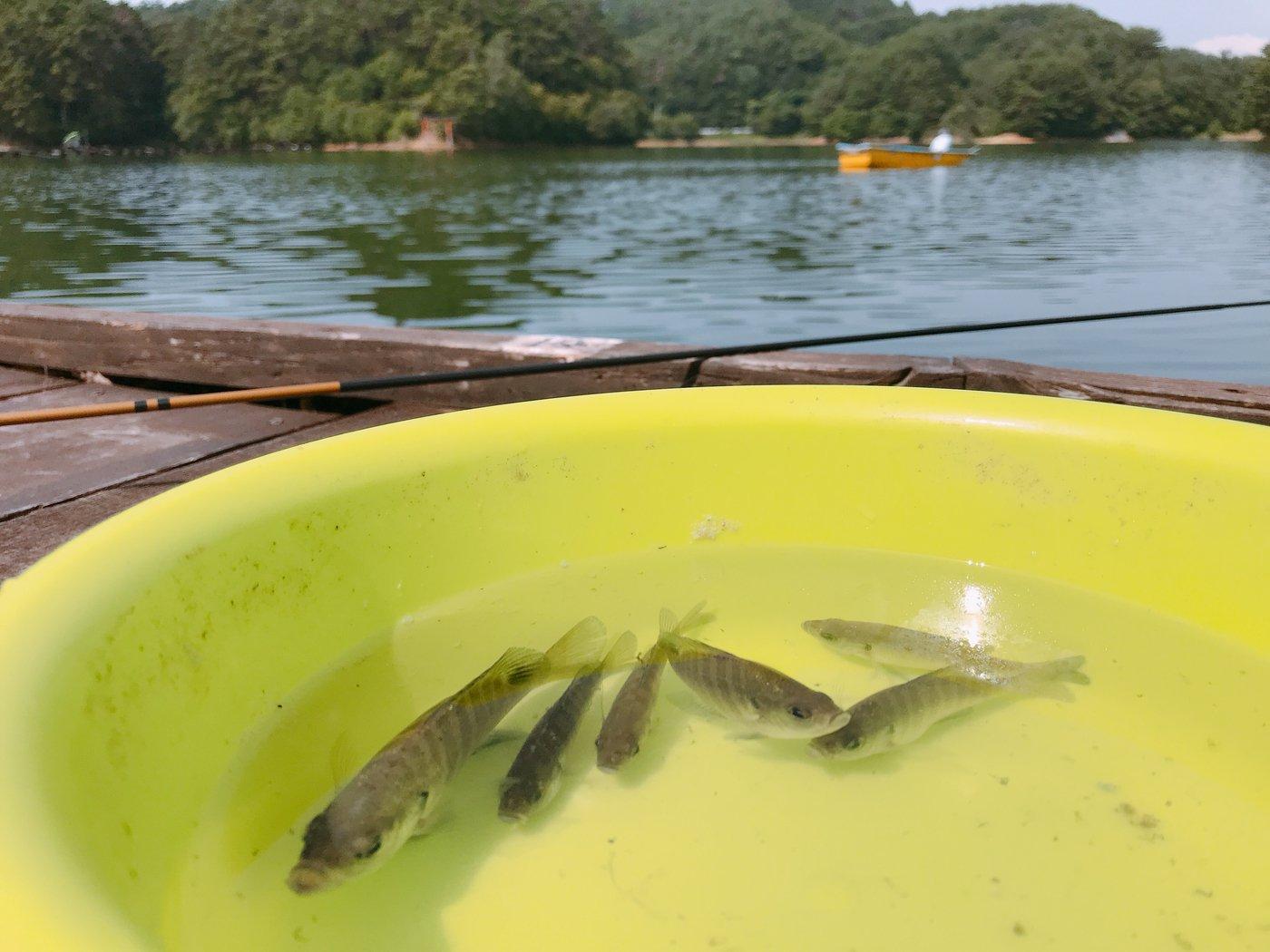 saccchanさんの投稿画像,写っている魚はブルーギル
