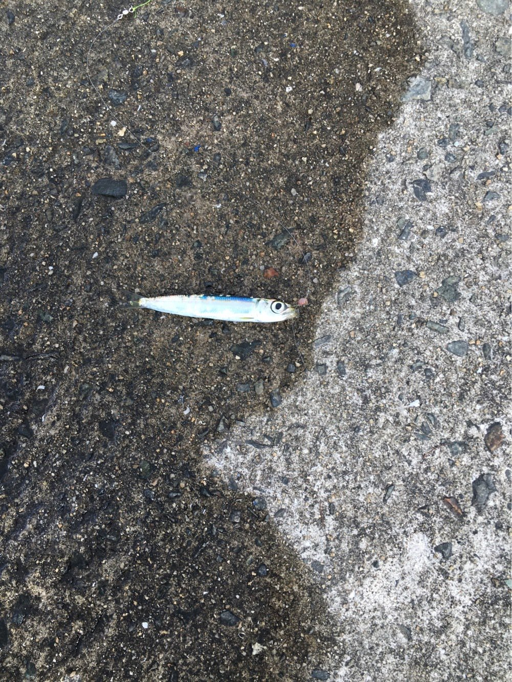 skyさんの投稿画像,写っている魚はカタクチイワシ