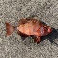 RYUSEIさんの高知県土佐清水市での釣果写真