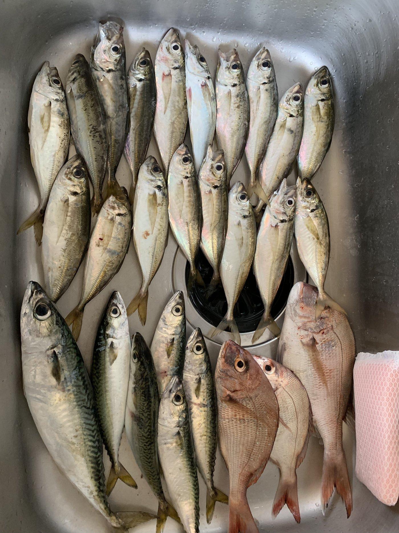 yumeさんの投稿画像,写っている魚はマダイ,マサバ,アジ