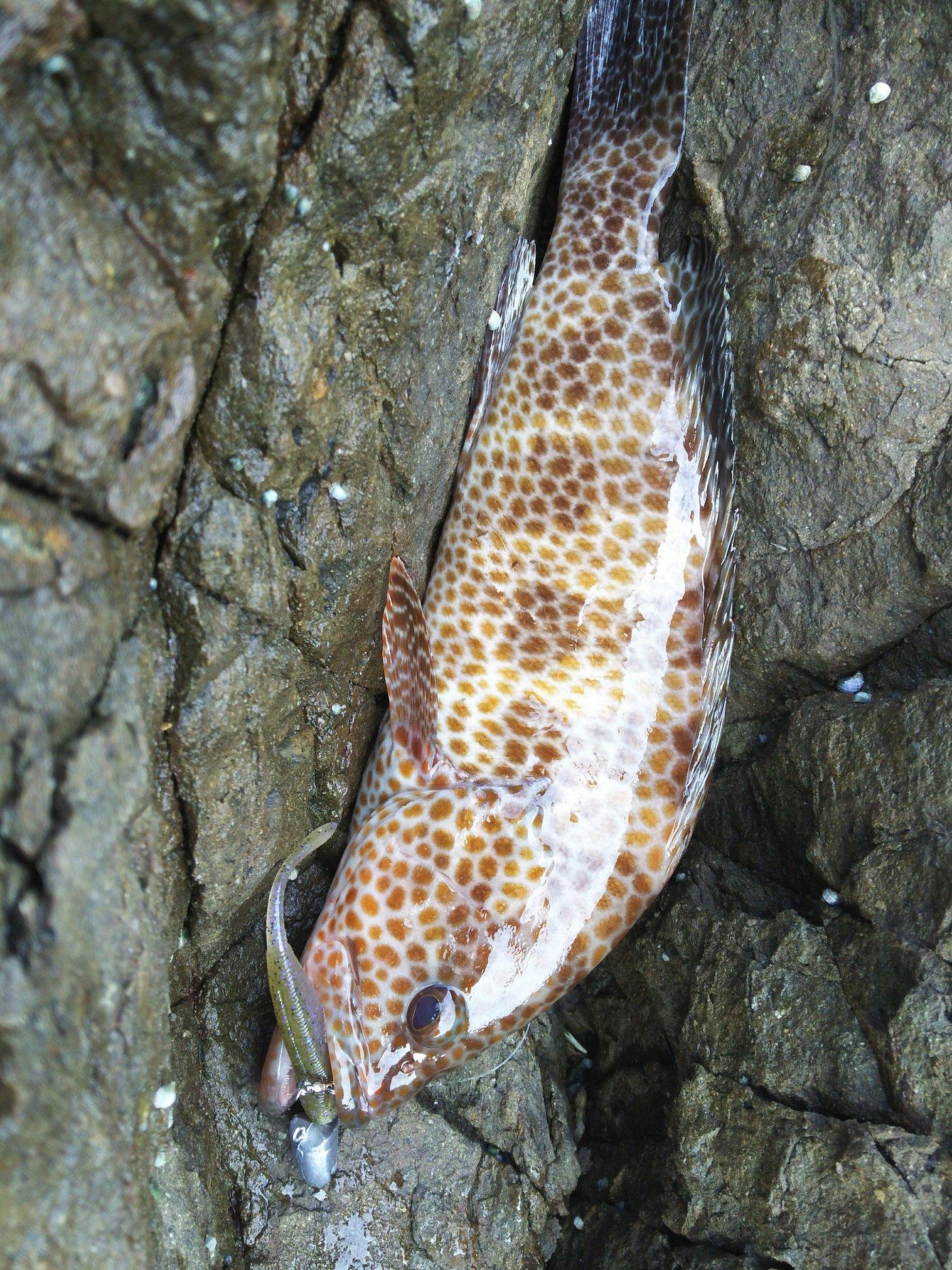 Deandre6さんの投稿画像,写っている魚はオオモンハタ