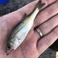草リグさんの千葉県旭市でのスズキの釣果写真