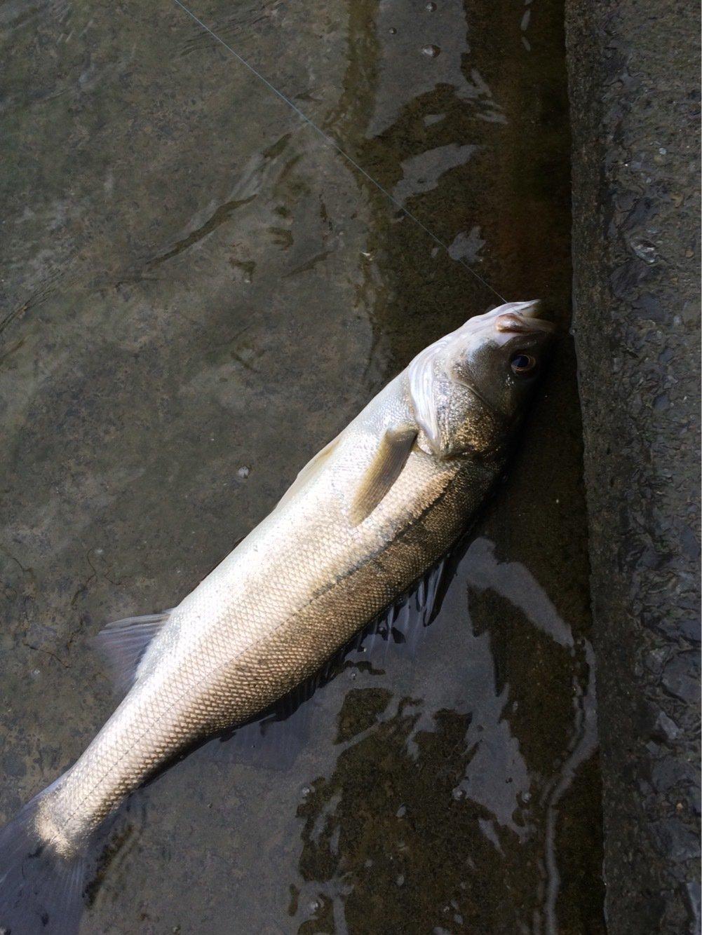 根掛かり王子さんの投稿画像,写っている魚はスズキ