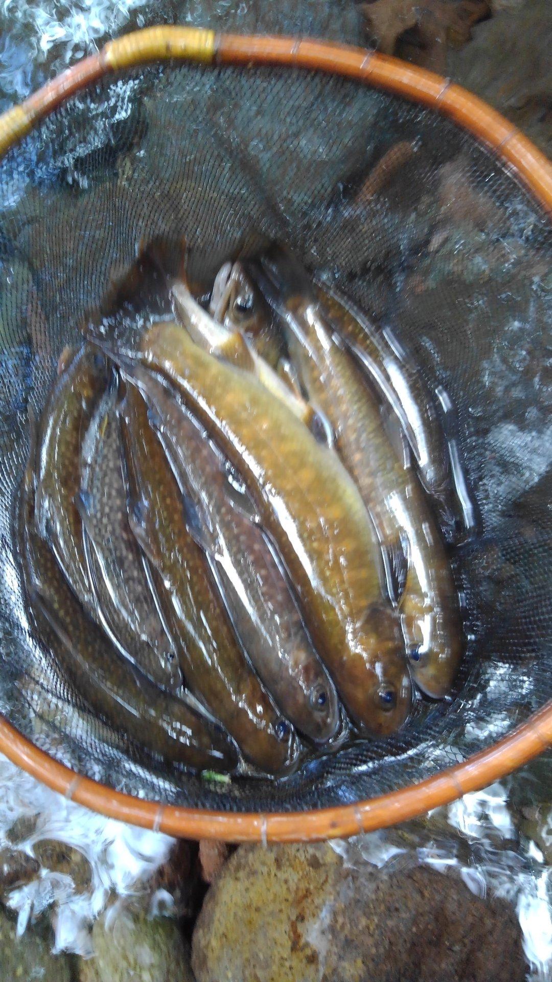 有頂天一号さんの投稿画像,写っている魚はイワナ