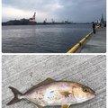 へたっぴ三ちゃんさんの宮城県仙台市でのブリの釣果写真