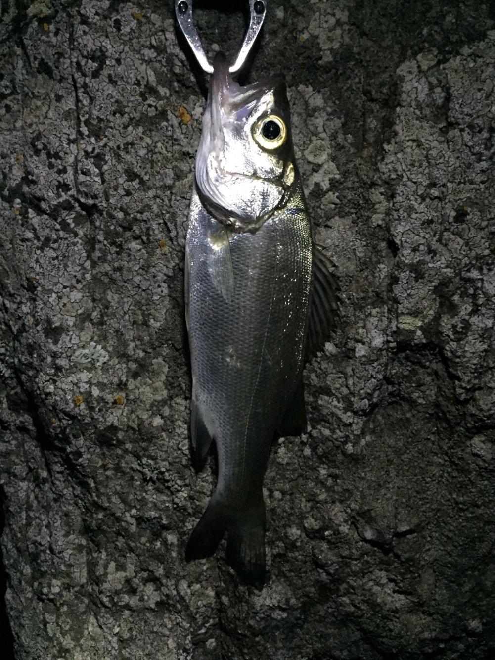 shunさんの投稿画像,写っている魚はスズキ