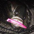 むくポンさんの福岡県でのスズキの釣果写真