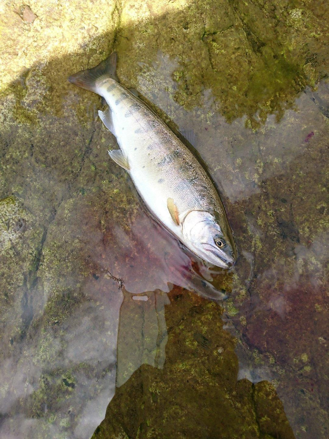 さすらいの釣り師さんの投稿画像,写っている魚はヤマメ