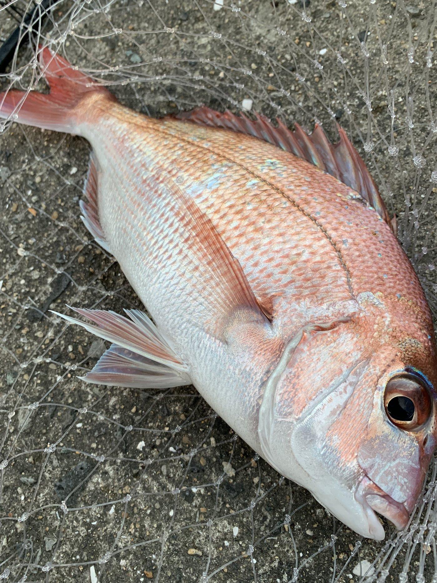 ゆちさんの投稿画像,写っている魚はマダイ