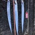 マックスさんの兵庫県姫路市でのタチウオの釣果写真