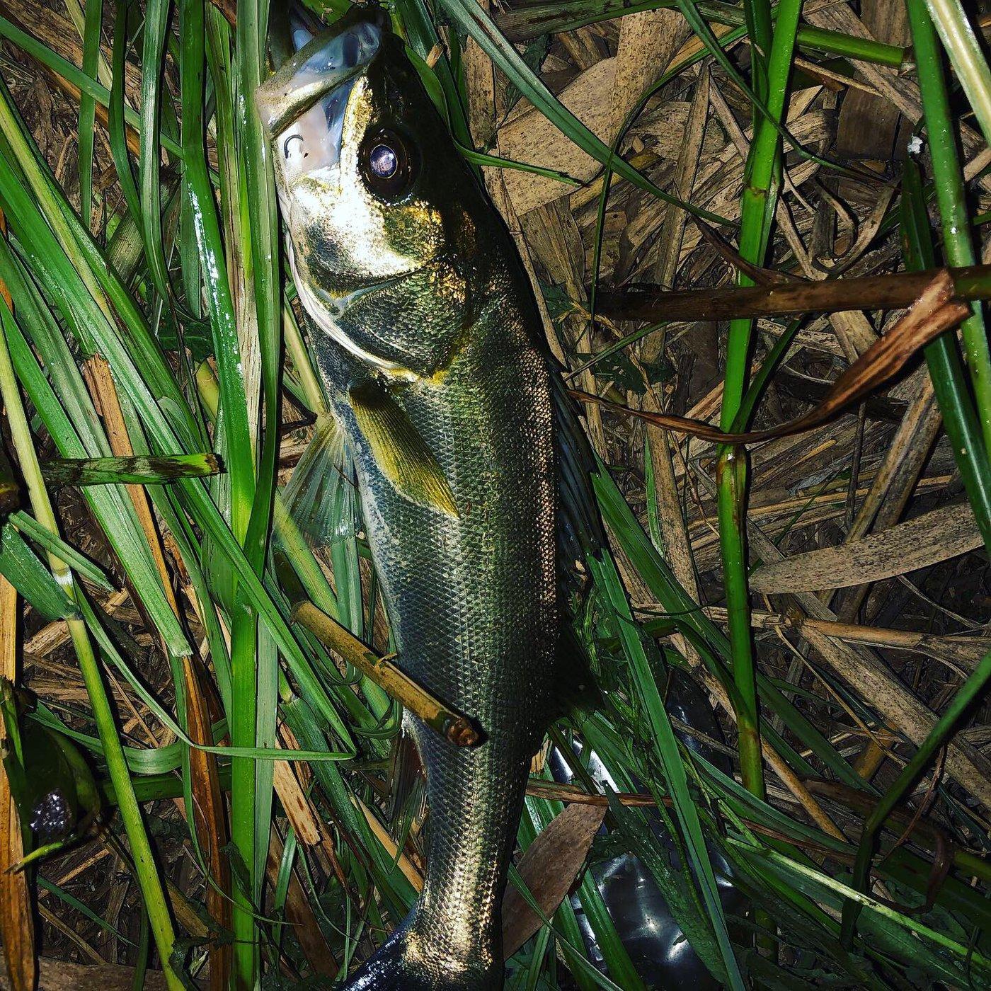 シーアツさんの投稿画像,写っている魚はスズキ