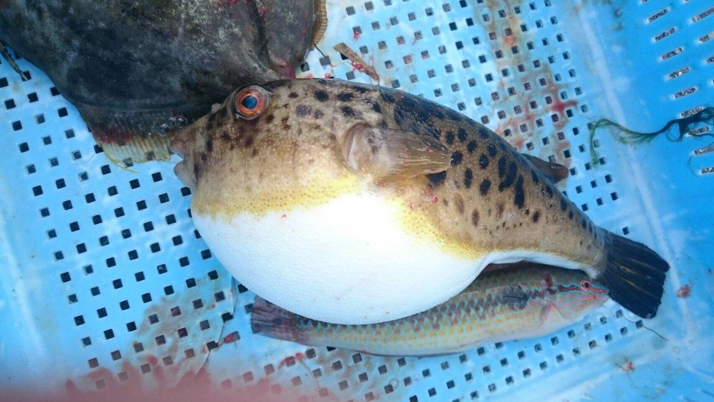 じゅんさんの投稿画像,写っている魚はヒガンフグ