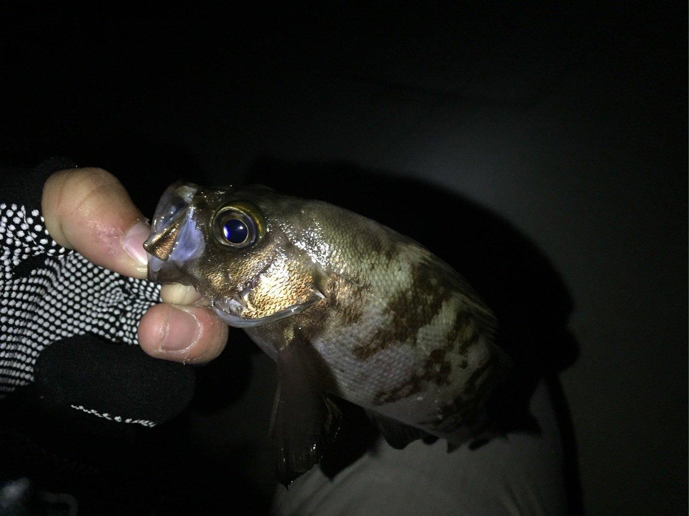 アッキーさんの投稿画像,写っている魚はメバル