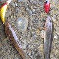 自由の翼さんの静岡県下田市での釣果写真