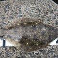 まだまだ小物さんのヒラメの釣果写真