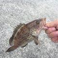 りささんの静岡県焼津市での釣果写真