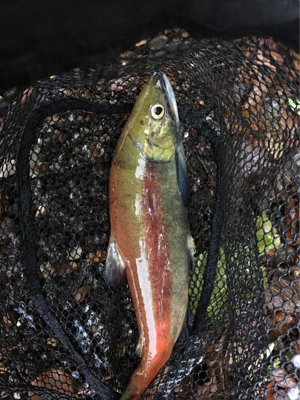 KINGさんの投稿画像,写っている魚はヒメマス