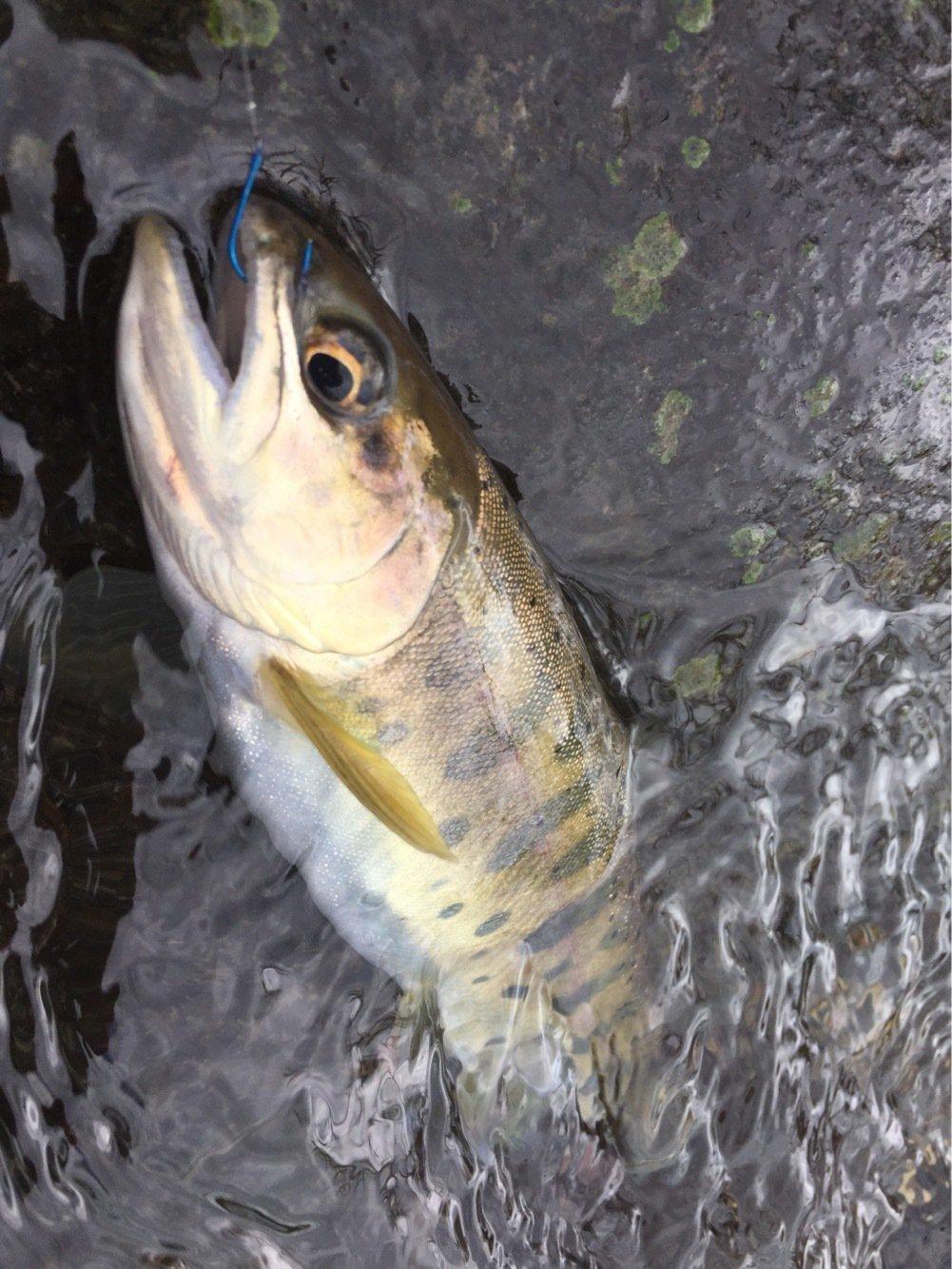taketonbowさんの投稿画像,写っている魚はヤマメ