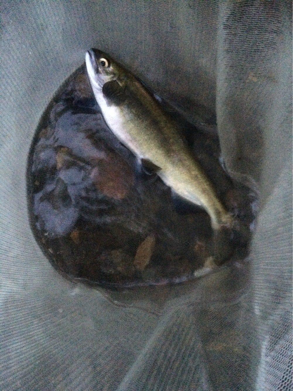 すーさんさんの投稿画像,写っている魚はヒメマス