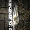 Yusukeさんの福岡県でのスズキの釣果写真