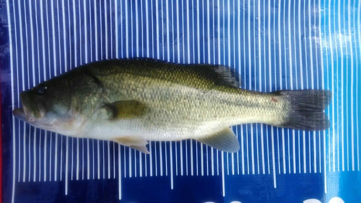 サイクリングAnglerさんの投稿画像,写っている魚はブラックバス
