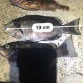 ドリカムが鼻かむさんのメジナの釣果写真
