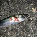ルイスさんの兵庫県洲本市での釣果写真