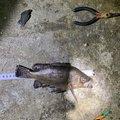 ルイスさんの徳島県鳴門市での釣果写真