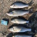 北村幸彦さんの三重県伊勢市での釣果写真
