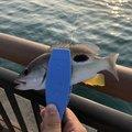 こうひーさんの静岡県焼津市での釣果写真