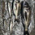 まこさんのクロダイの釣果写真