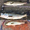 レオさんの福岡県でのスズキの釣果写真