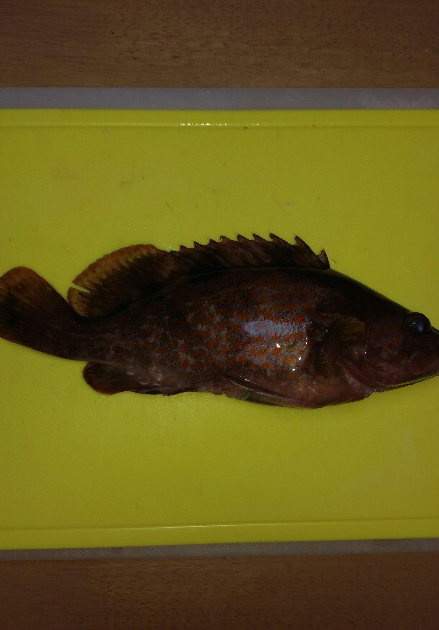 古藤さんの投稿画像,写っている魚はキジハタ