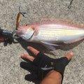 ヤスアキさんのイトヨリダイの釣果写真