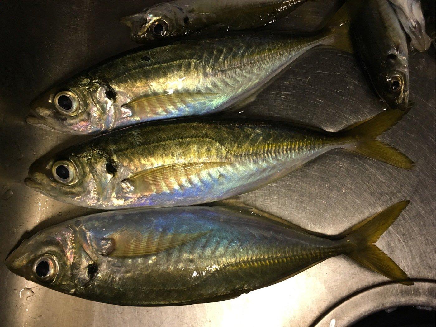 ask11さんの投稿画像,写っている魚はアジ
