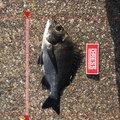 ドカさんのクロダイの釣果写真