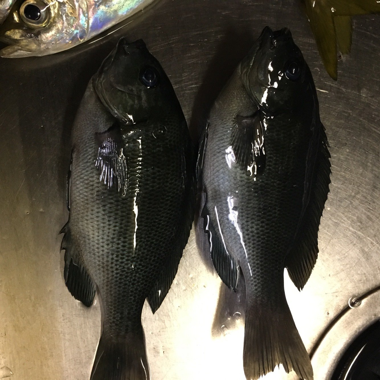 ask11さんの投稿画像,写っている魚はメジナ