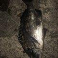 A.SHIOさんのクロダイの釣果写真