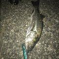 クシメンさんの宮城県多賀城市での釣果写真