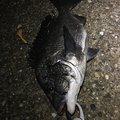 Yusuke'77さんのクロダイの釣果写真