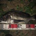 ショウさんのクロダイの釣果写真