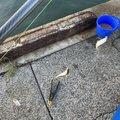 ひとしさんの三重県鈴鹿市での釣果写真
