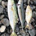しんもっちさんの静岡県富士市での釣果写真
