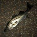プルプルさんの東京都葛飾区での釣果写真