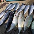 がんばさんの千葉県館山市での釣果写真