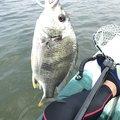 パパインさんの兵庫県西宮市での釣果写真