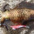 あかべこさんの千葉県安房郡での釣果写真