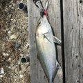 ワダさんの香川県での釣果写真