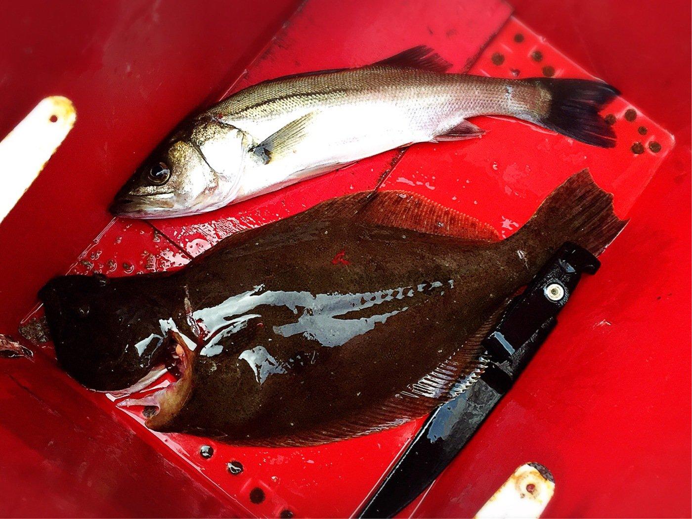 きみ☆チヌlove♡さんの投稿画像,写っている魚はスズキ