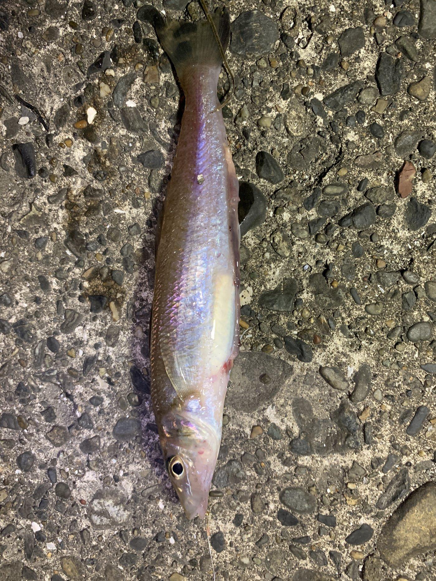 りゅさんの投稿画像,写っている魚はシロギス